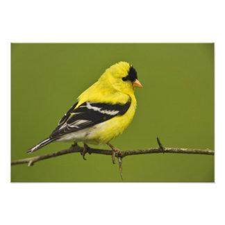 Goldfinch americano masculino en plumaje de la crí fotografías