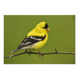 Goldfinch americano masculino en plumaje de la crí fotografias