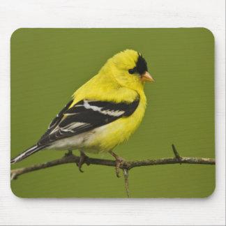 Goldfinch americano masculino en plumaje de la crí alfombrilla de ratón