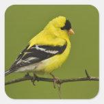 Goldfinch americano masculino en plumaje de la calcomanías cuadradass personalizadas
