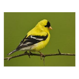 Goldfinch americano masculino en plumaje de la postal
