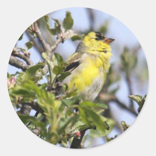Goldfinch americano pegatina redonda