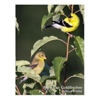 Goldfinch americano postales