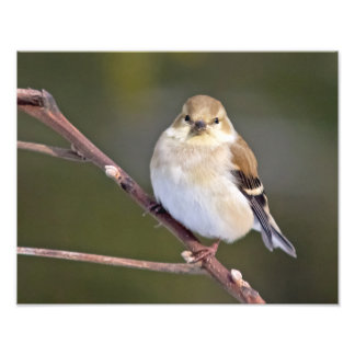 Goldfinch americano que le mira arte fotográfico