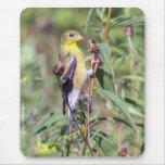 Goldfinch americano tapetes de ratón