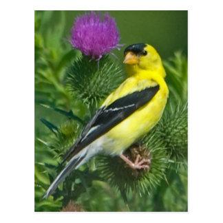 Goldfinch americano postal