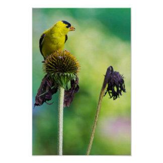 Goldfinch Atop of Cone Flower Poster