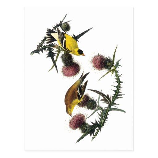 Goldfinch del americano de Audubon Postal
