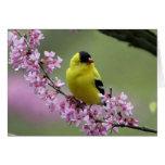 Goldfinch en la tarjeta en blanco de Redbud