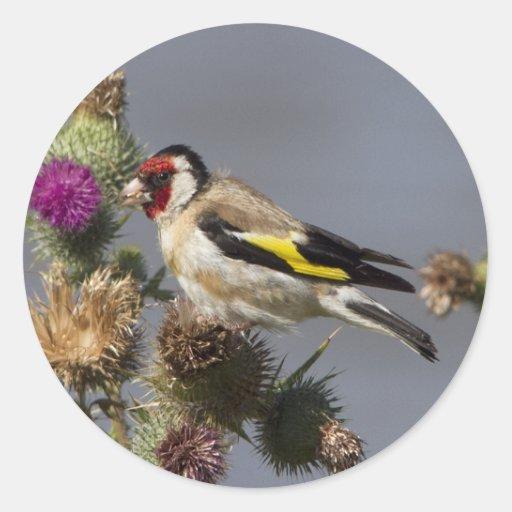 Goldfinch Etiquetas Redondas