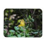 Goldfinch femenino iman