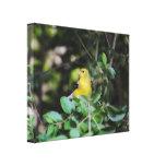 Goldfinch femenino impresion de lienzo
