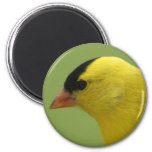 Goldfinch Magnet