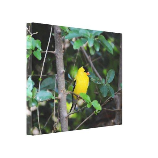 Goldfinch masculino 2 lienzo envuelto para galerias