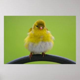 Goldfinch Print