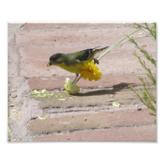 Goldfinch Tearing a Flower Photo Art
