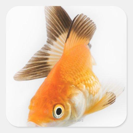 Goldfish (auratus del Carassius) Pegatinas Cuadradas