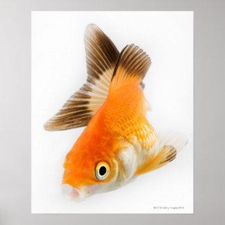 Goldfish (Carassius auratus) Poster