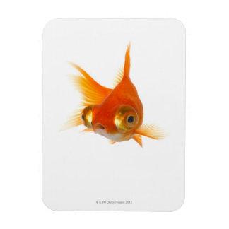 Goldfish con los ojos grandes iman