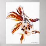 Goldfish del cometa de la cola de milano del calic posters