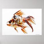Goldfish del cometa de la cola de milano del calic impresiones