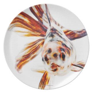Goldfish del cometa de la cola de milano del calic platos de comidas