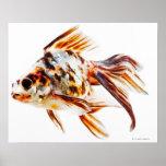 Goldfish del cometa de la cola de milano del calic póster