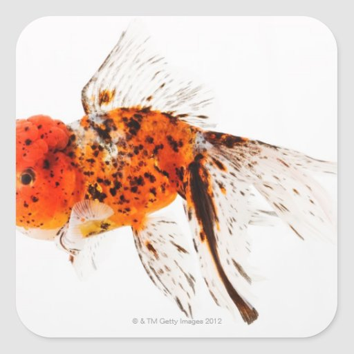 Goldfish del lionhead del calicó (auratus del colcomanias cuadradases