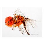 Goldfish del lionhead del calicó (auratus del postal
