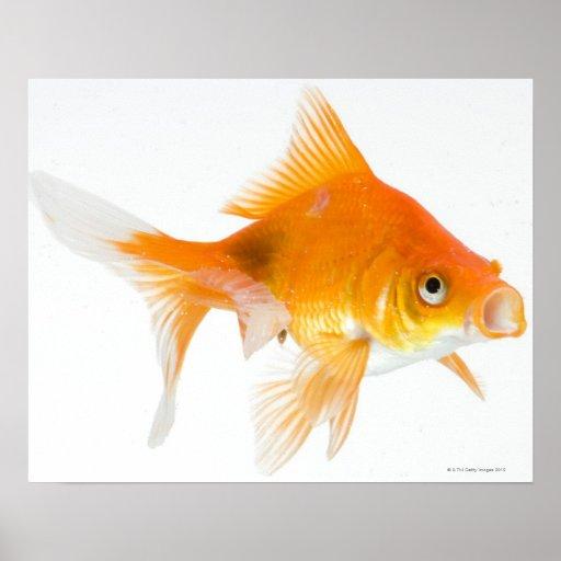 Goldfish en el fondo blanco póster
