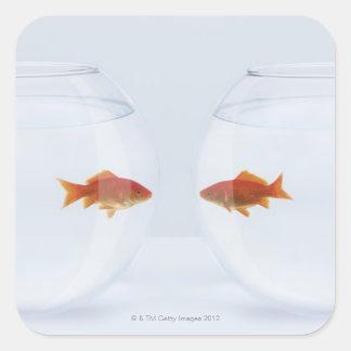 Goldfish en los fishbowls separados que miran la c calcomanía cuadrada