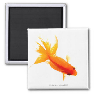 Goldfish, overhead view magnet