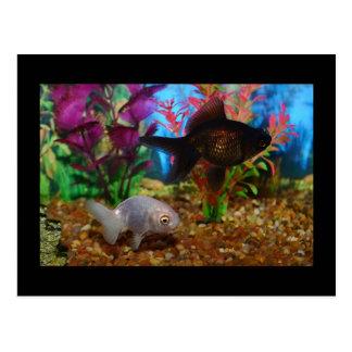 Goldfish Postcard Lionhead Black Moor