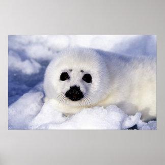 Golfo del hielo del perrito de foca de Groenlandia Poster