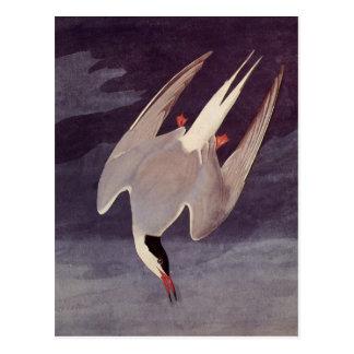 Golondrina de mar ártica de John James Audubon, Tarjetas Postales