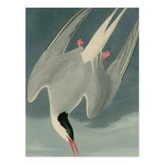 Golondrina de mar ártica postal