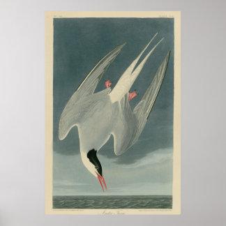 Golondrina de mar ártica póster