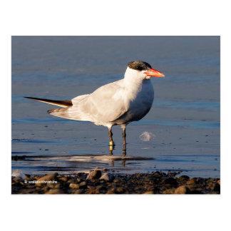 Golondrina de mar caspia en la playa tarjeta postal