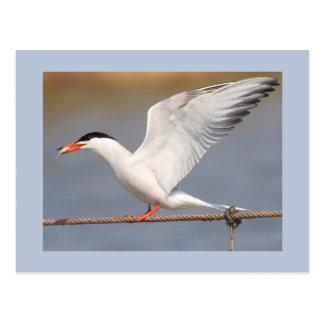 Golondrina de mar común tarjetas postales