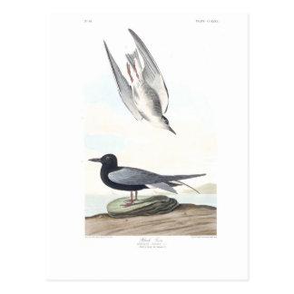 Golondrina de mar negra de la placa 280 de Audubon Tarjetas Postales