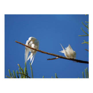 Golondrinas de mar blancas postal