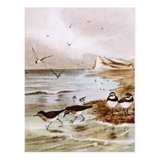 Golondrinas de mar comunes en la orilla postales