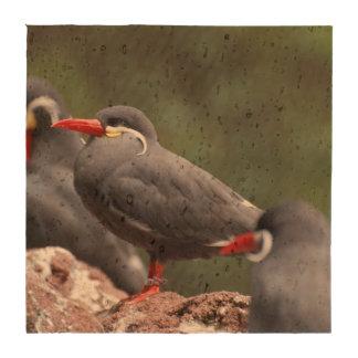 Golondrinas de mar del inca