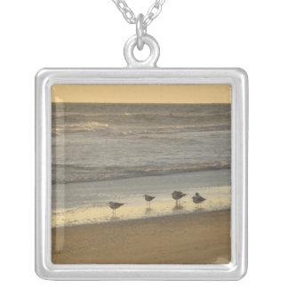 Golondrinas de mar y golondrinas de mar del collar