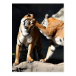 Golpe del tigre tarjeta postal