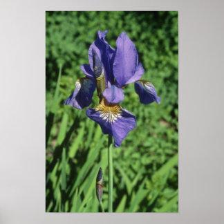 Good Measure Flag, (Iris) flowers Print