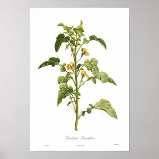 Goodenia grandiflora impresiones