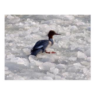 Goosander  in ice postcard