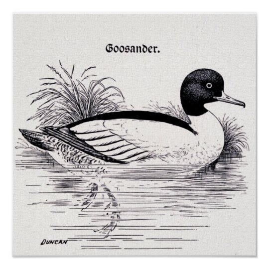 Goosander  Vintage Illustration Poster