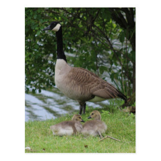 Goose and Goslings Postcard